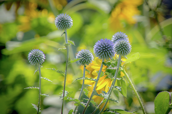 Summer Photograph - Globe Thistle by Cathy Cooley