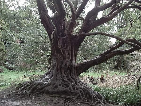 Nature Photograph - Gnarled Oak by William Thomas