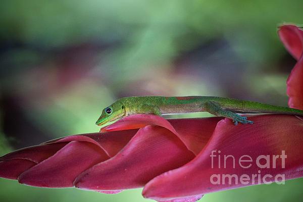 Digital Photograph - Gold Dust Day Gecko 1 by Daniel Knighton
