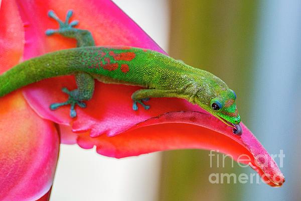 Digital Photograph - Gold Dust Day Gecko 3 by Daniel Knighton