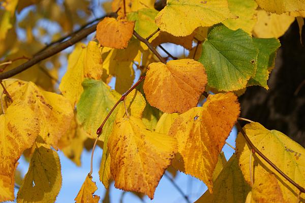 Autumn Photograph - Golden by Carol Lynch