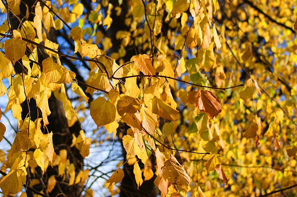 Autumn Photograph - Golden Leaves by Carol Lynch