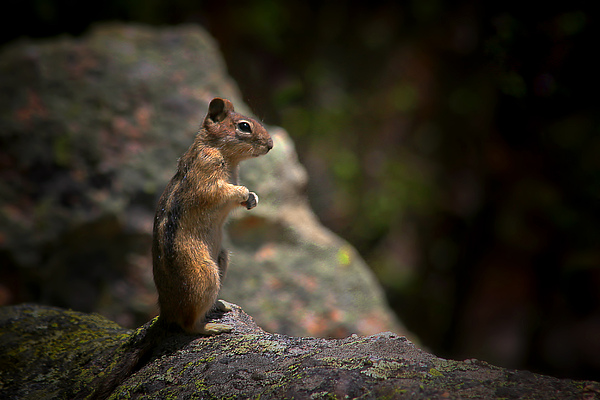 Nature Photograph - Golden Mantled Ground Squirrel Rocky Mountains Colorado by Christine Till