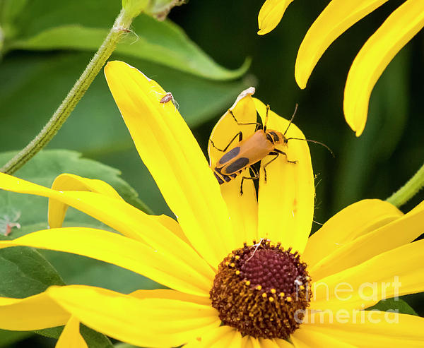 Canon Photograph - Goldenrod Soldier Beetle by Ricky L Jones