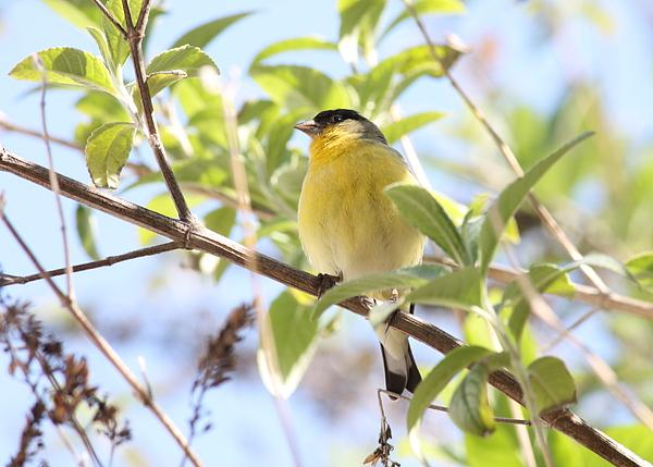 Bird Photograph - Goldfinch In Spring Tree by Carol Groenen