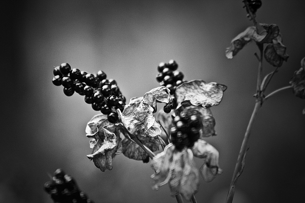 Flower Photograph - Gone To Seed Blackberry Lily by Teresa Mucha