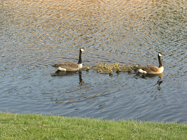 Geese Photograph - Goose Pond 1 by Nancy Ferrier