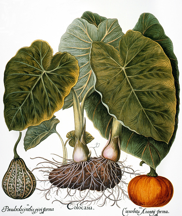 Basilius Photograph - Gourd, Taro, & Pumpkin by Granger