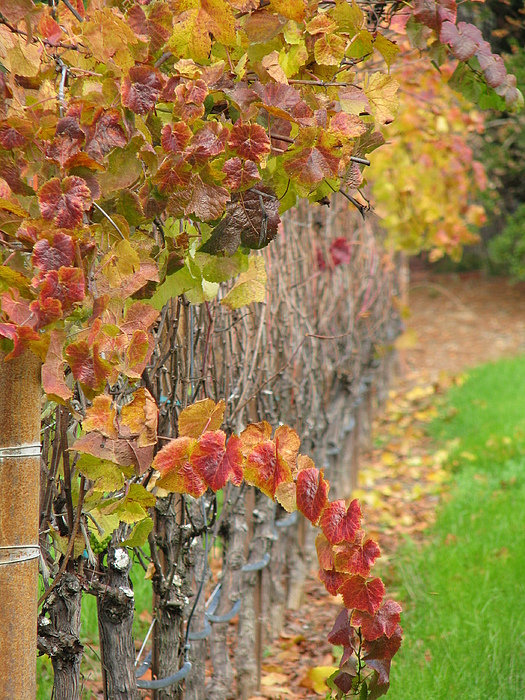 Grapes Photograph - Grape Vines In Fall by Jeff White