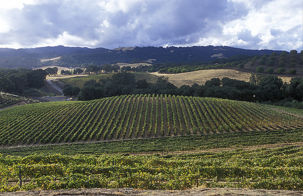 Grapevines Photograph - Grape Vines On Opolo Vineyards by Rich Reid