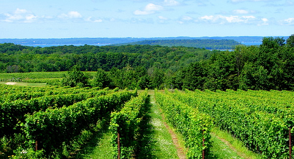 Scenic Photograph - Grapevines On Old Mission Peninsula - Traverse City Michigan by Michelle Calkins