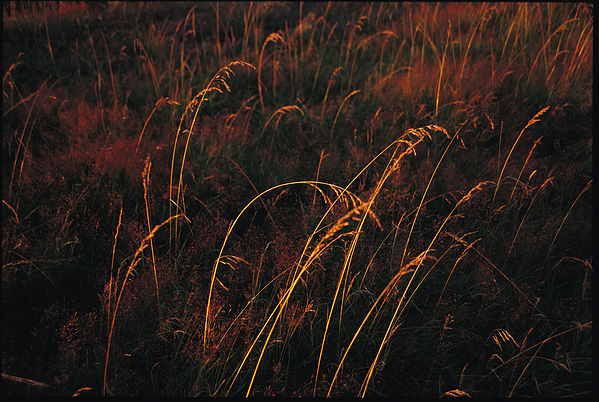 North America Photograph - Grasses Glow Golden In Evenings Light by Raymond Gehman