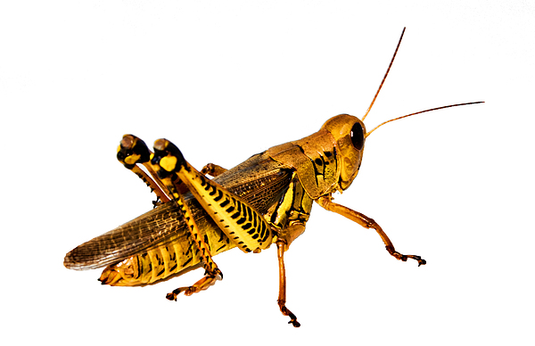 Insect Photograph - Grasshopper I by Gary Adkins