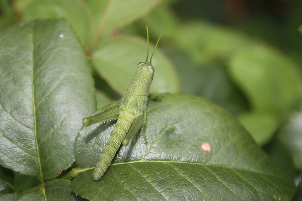 Animals Photograph - Grasshopper by Paula Coley