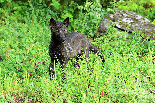 Gray Wolf Photograph - Gray Wolf Pup by Louise Heusinkveld