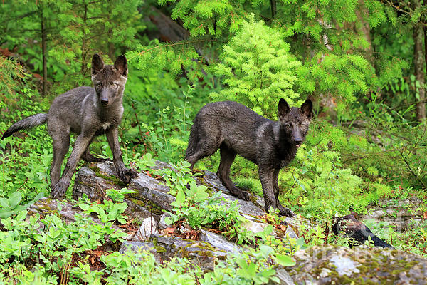 Gray Wolf Photograph - Gray Wolf Pups by Louise Heusinkveld