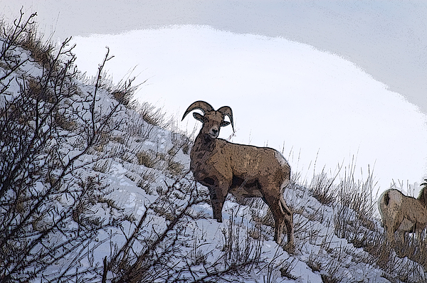 Ram Photograph - Grazing by Alicia Frese Klenk
