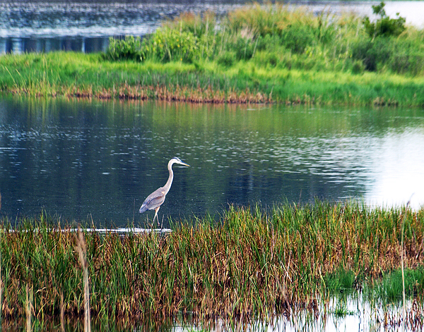 Great Blue Heron Photograph - Great Blue by Kim