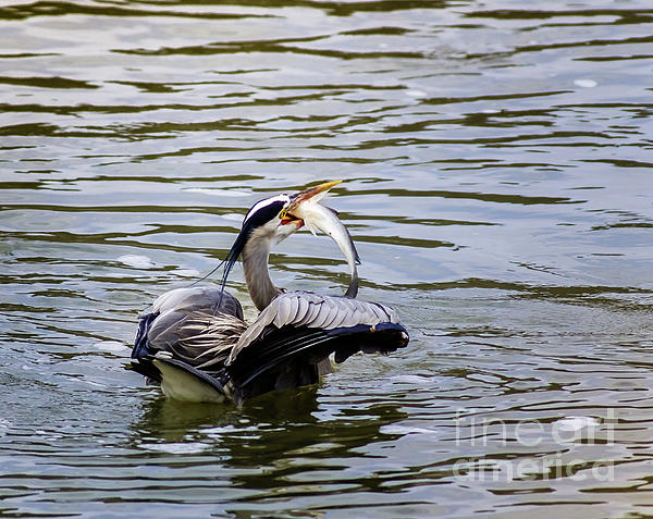 Bird Photograph - Great Blue With A Drum by Robert Frederick