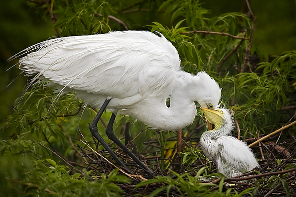 Egret Photograph - Great Egret And Chick by Susan Candelario