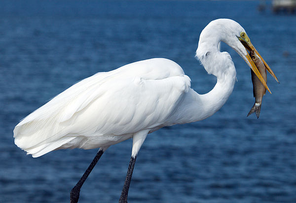 Great Egret  In Florida Photograph by Allan  Hughes