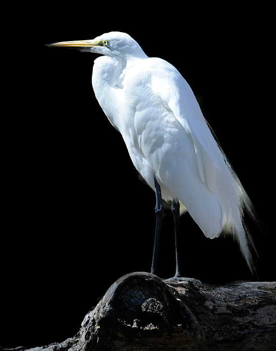 Great Egret Photograph - Great Egret by Keith Lovejoy