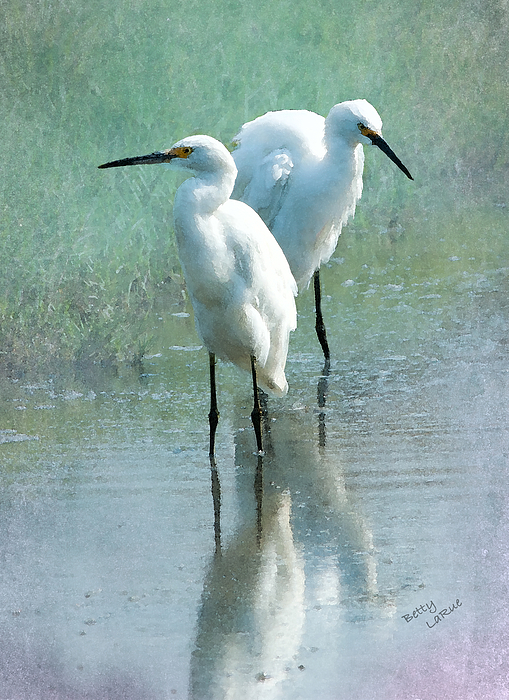 Great Egret Photograph - Great Egrets by Betty LaRue