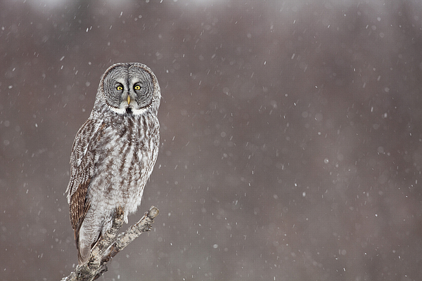 Alaska Photograph - Great Gray Owl In Falling Snow by Tim Grams
