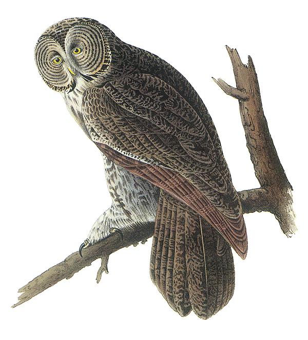 John James Audubon Painting - Great Gray Owl by John James Audubon