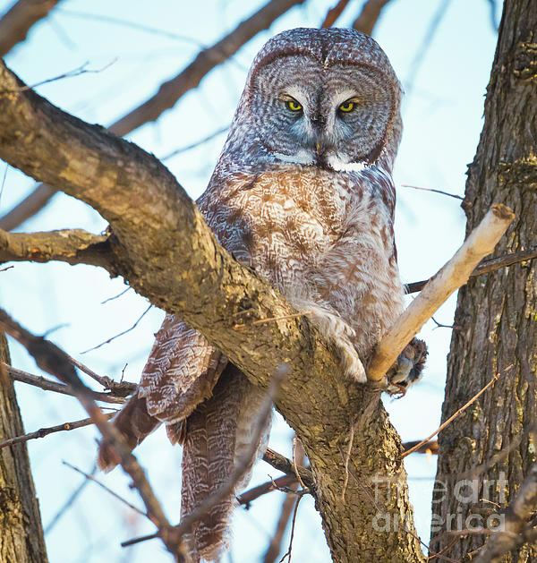 Canon Photograph - Great Gray Owl by Ricky L Jones