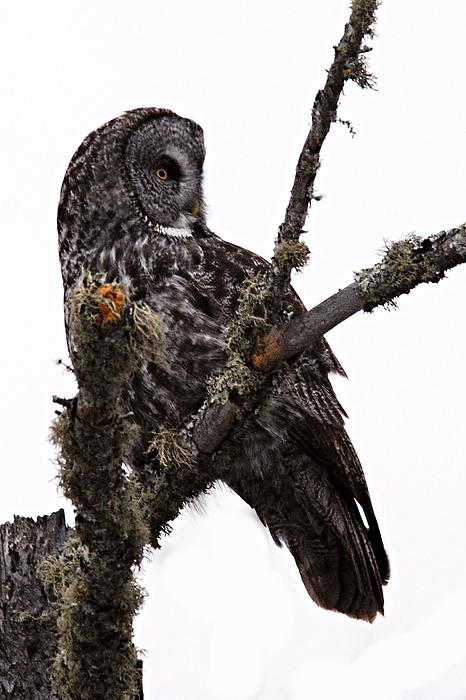 Photography Photograph - Great Grey Owl by Larry Ricker