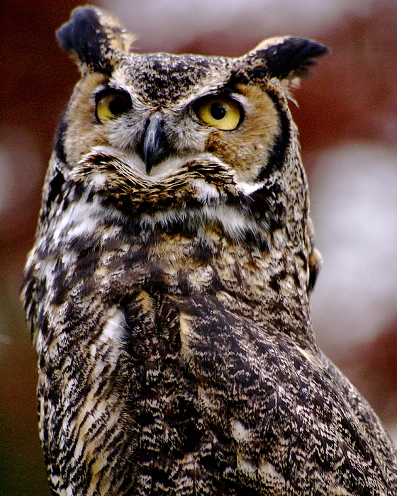 Rapture Photograph - Great Horned Owl by Sonja Anderson