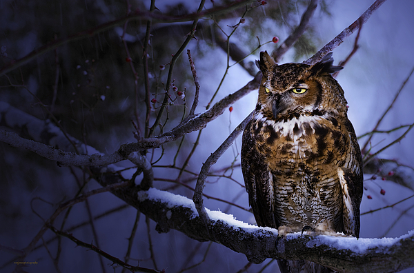 Animal Photograph - Great Horned by Ron Jones