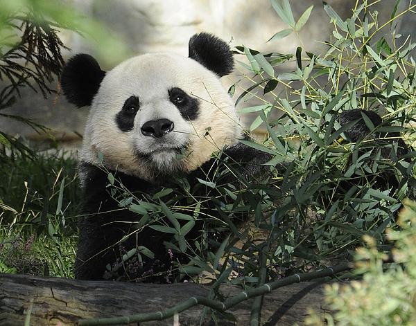 Panda Photograph - Great Panda by Keith Lovejoy