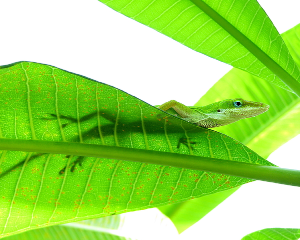 Horizontal Photograph - Green Anole On Leaf With Silhouette by Joseph Connors