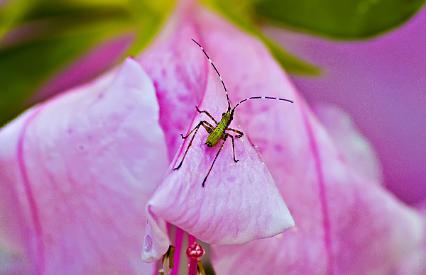 Insect Photograph - Green Bug On Rose Petal by Michael Whitaker