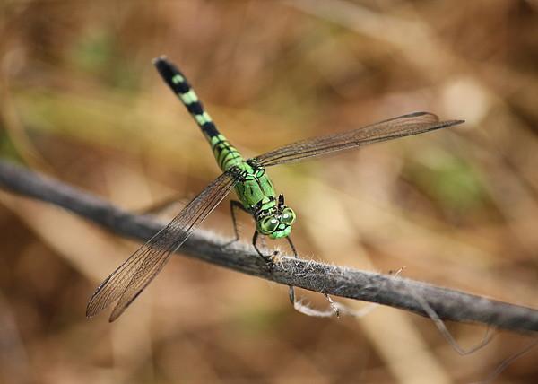 Dragonfly Photograph - Green Dragonfly On Twig by Carol Groenen