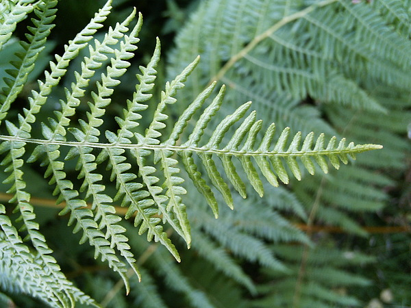 Green Photograph - Green Fern by Deborah Brewer