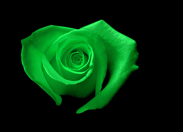 Green Photograph - Green Heart-shaped Rose by Glennis Siverson