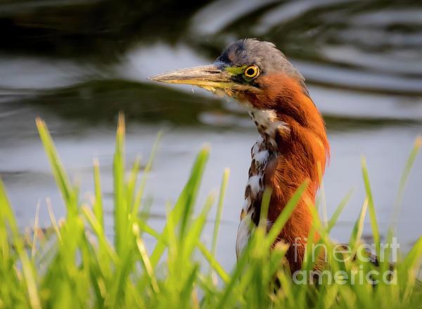 Canon Photograph - Green Heron Closeup  by Ricky L Jones