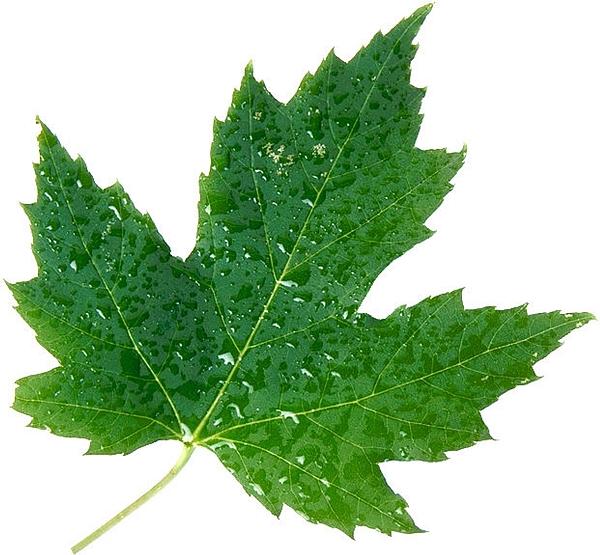 Green Leaves Photograph by Ashu Singh