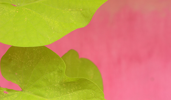 Floral Photograph - Green On Pink 1 by Art Ferrier