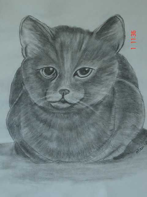 Cat Drawing - Grey Cat by Maureen Blakeley