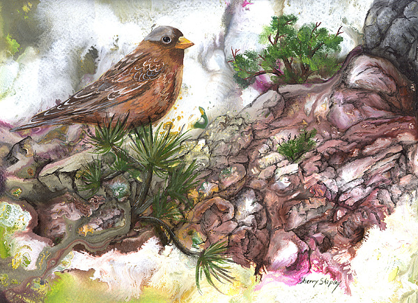 Bird Painting - Grey Crown Rosy Finch by Sherry Shipley