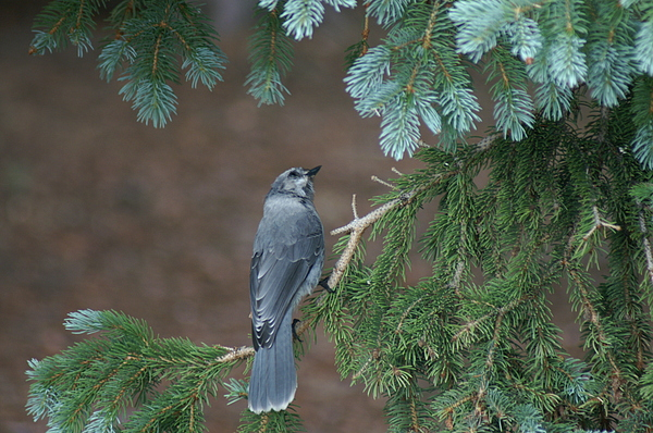 Wildlife Photograph - Grey Jay by Tena Owen
