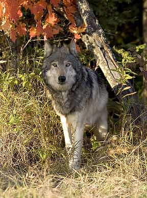 Grey Wolf In The Shadows Photograph by Celeste  Steele