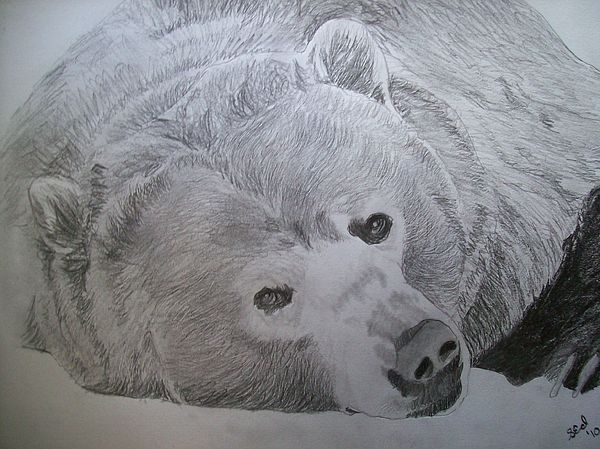 Grizzly Bear Original Pencil Sketch By Pigatopia Drawing ...  Grizzly Bear Or...
