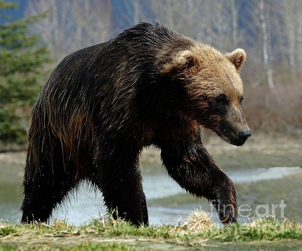Bob Christopher - Grizzly Bear Seward Alaska 2