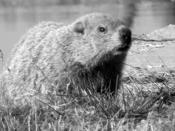 Canada. Photograph - Groundhog by Erika Kennedy