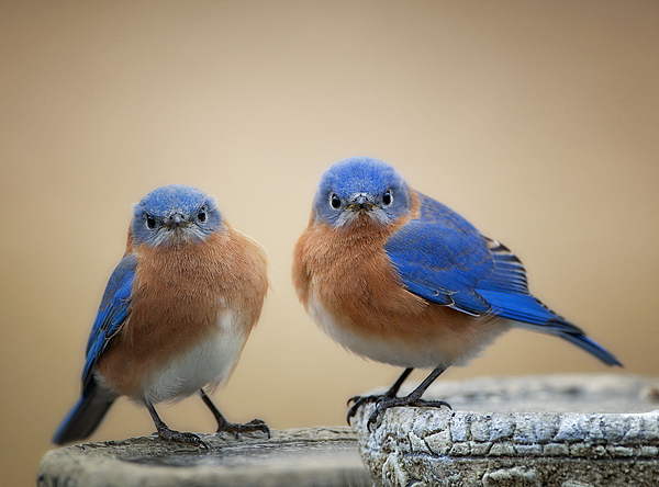 Eastern Bluebirds Photograph - Grumpy Little Men by Bonnie Barry